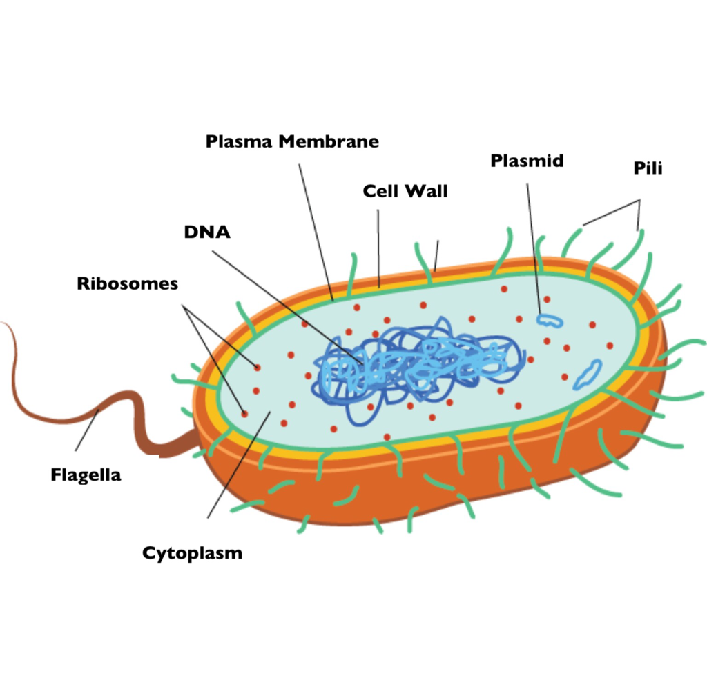 Bacteria cell diagram blank search for wiring diagrams bacteria grade 11 biology study guide rh 3ubiostudyguide weebly com bacterial cell diagram with labels blank ccuart Image collections